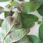 choroby-szkodniki-roslin-rolniczych