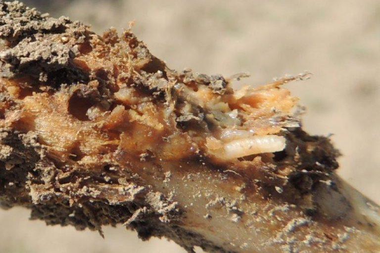 Żerujące larwy śmietki