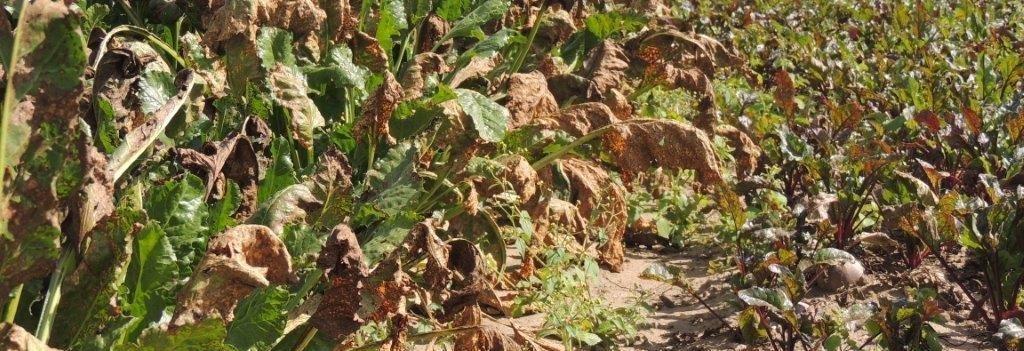 choroby-szkodniki-roslin-rolniczych-burak