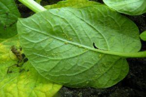 choroby-roslin-ziemniak
