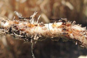larwy-szkodniki-owady-na-roslinach-rolniczych