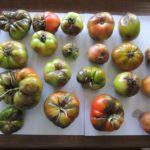 choroby-szkodniki-roslin-rolniczych-pomidory