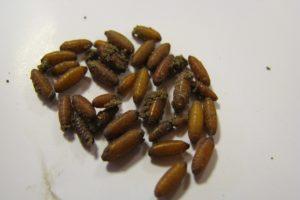 szkodniki-roslin-rolniczych