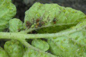 szkodnik-robak-owad-na-roslinie