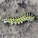 paz-krolowej-larwa