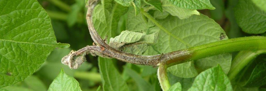 Zaraza-ziemniaka-–forma-łodygowa-choroba-ziemniaka-wywoływana-przez-Phytophthora-infestans.(4)
