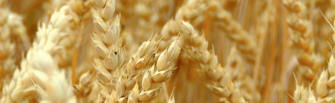 odmiana pszenicy faustus
