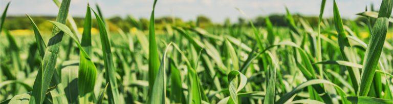 nasiona-zboz-2
