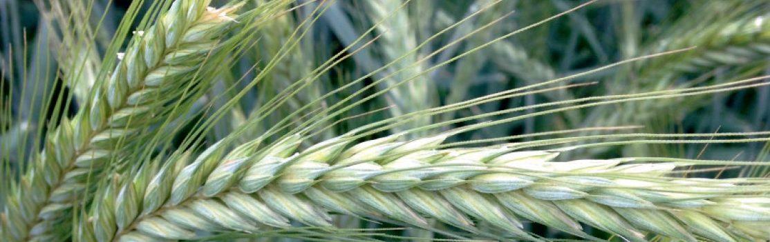 odmiana pszenżyta ozimego sekret