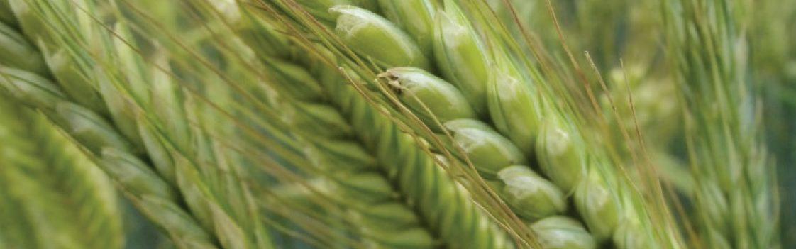 odmiana pszenicy su performer
