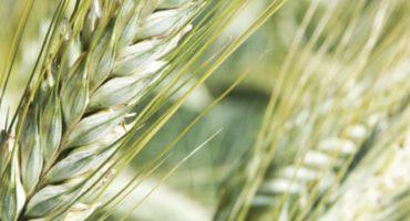 odmiana pszenżyta ozimego trapero