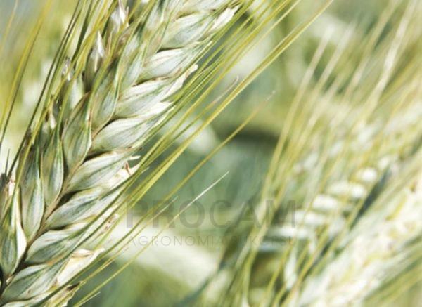 odmiana-pszenżyta-ozimego-trapero