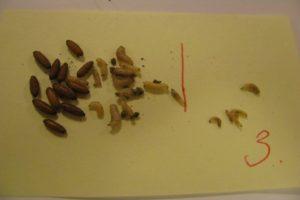 szkodniki-roslin-larwy