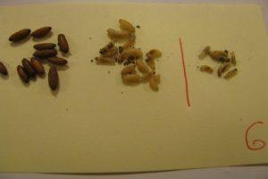 szkodniki-larwy