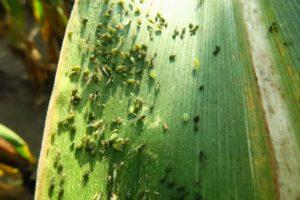 szkodniki-na-roslinach-kukurydza