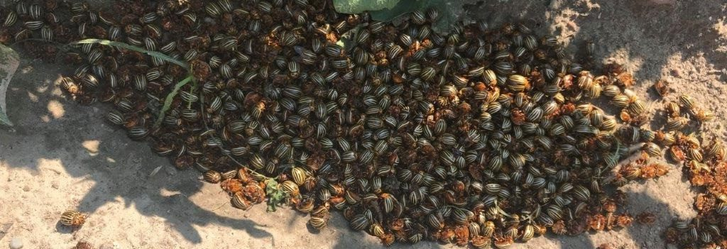 Stonka-ziemniaczana-chrząszcz-letnie-pokolenie