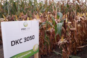 odmiana-kukurydzy