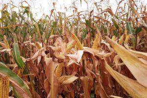 pola-kukurydzy-procam