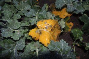 Sucha-zgnilizna-kapustnych-efekt-zolkniecia-liści