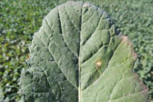 Mączniak prawdziwy kapustowatych oraz pierwsze infekcje wirusa żółtaczki rzepy ( TuYV – Turnip Yellows Virus )