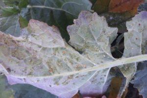 Mszyca-brzoskwiniowo-ziemniaczana