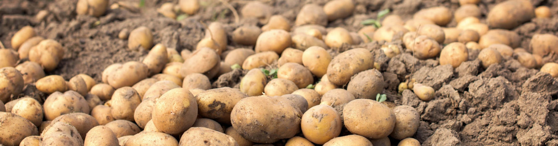 uprawa-ziemniaka