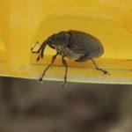 szkodnik-owadzi-w-zoltym-naczyniu