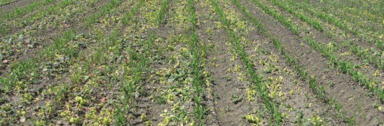 herbicydy-do-kukurydzy