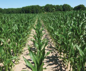 chwasty w kukurydzy