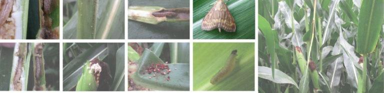 motyl-omacnica-kukurydza-szkodniki