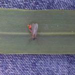 szkodniki-larwy-pryszczarek