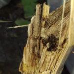 żerowanie larwy omacnicy