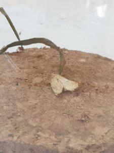 motyl-omacnicy-prosowianki