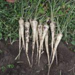 roslina-po-aplikacji-preparatu-nematado-biocontrol