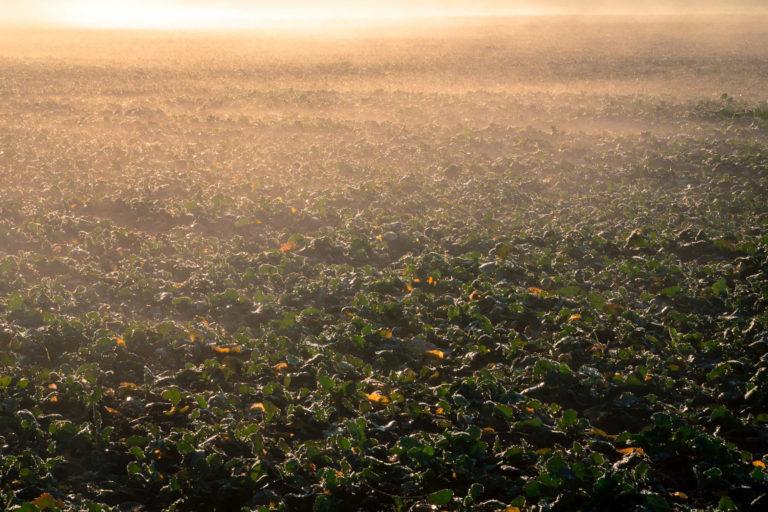 stosowanie fungicydów w rzepaku