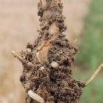 szkodniki w uprawach - śmietka kapuściana
