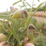 Antraknoza łubinu Colletotrichum lupini