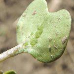 Mszyca brzoskwiniowo ziemniaczana