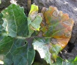 Sucha zgnilizna kapustnych