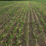 Przymrozki stanowią duże zagrożenie dla upraw