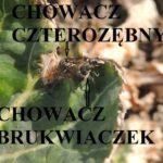 Chowacze