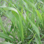 Braki magnezu powodują stres roślin