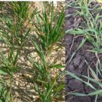Niska temperatura powietrza i susza powodują stres termiczny roślin