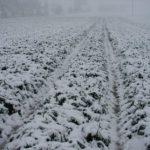 śnieg w zbożu