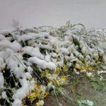 rzepak pod śniegiem