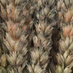 grzyb fusarium