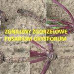 szkodnik Fusarium oxysporum