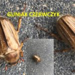 szkodnik guniak czerwczyk