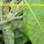 Mszyca brzoskwiniowo-ziemniaczana