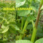 Zaraza ziemniaka